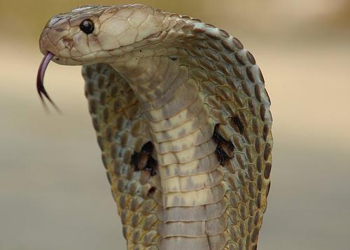 cara de uma cobra